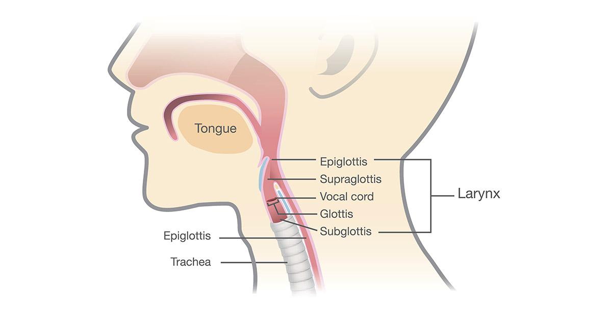 human larynx anatomy to show location of cordectomy