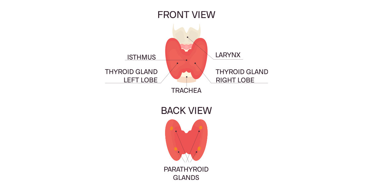illustration of the thyroid and parathyroid surgery